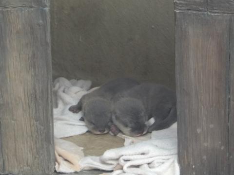 コツメの赤ちゃん1