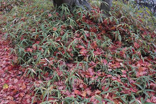 晩秋 笹に落ち葉