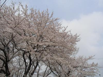 blog_2013sakura1_convert_20130331165319.jpg