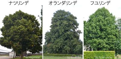 ナツ オランダ フユ 樹形一般比較 02