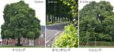 ナツオランダフユ 樹形一般比較 03