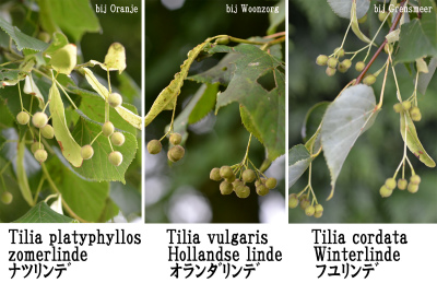 Tilia 3 spaces nog niet mature Fruits klein