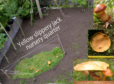 130923 Yellow slippery jack nursery quarter