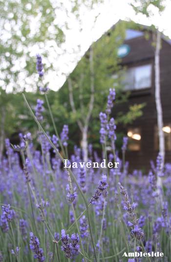 IMG_5783-lavender.jpg
