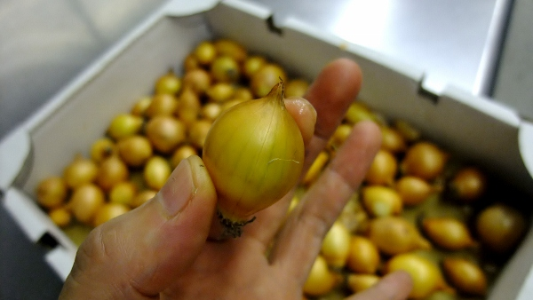 小さい玉葱