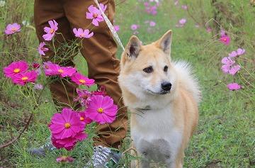 s-kosumosuIMG_4243