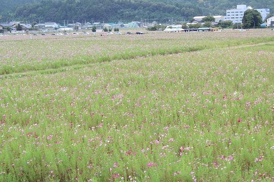 s-kosumosuIMG_4188