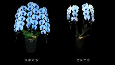 青い胡蝶蘭~ブルーエレガンス~3本立&2本立