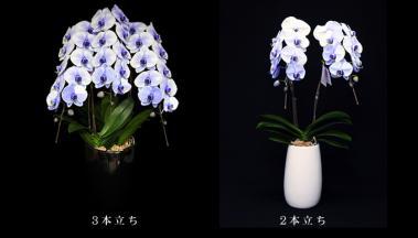 紫の胡蝶蘭~パープルエレガンス~3本立&2本立