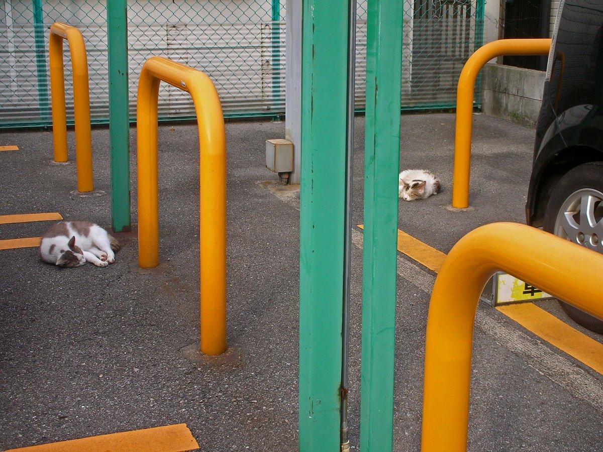 駐車場で寝る猫二匹