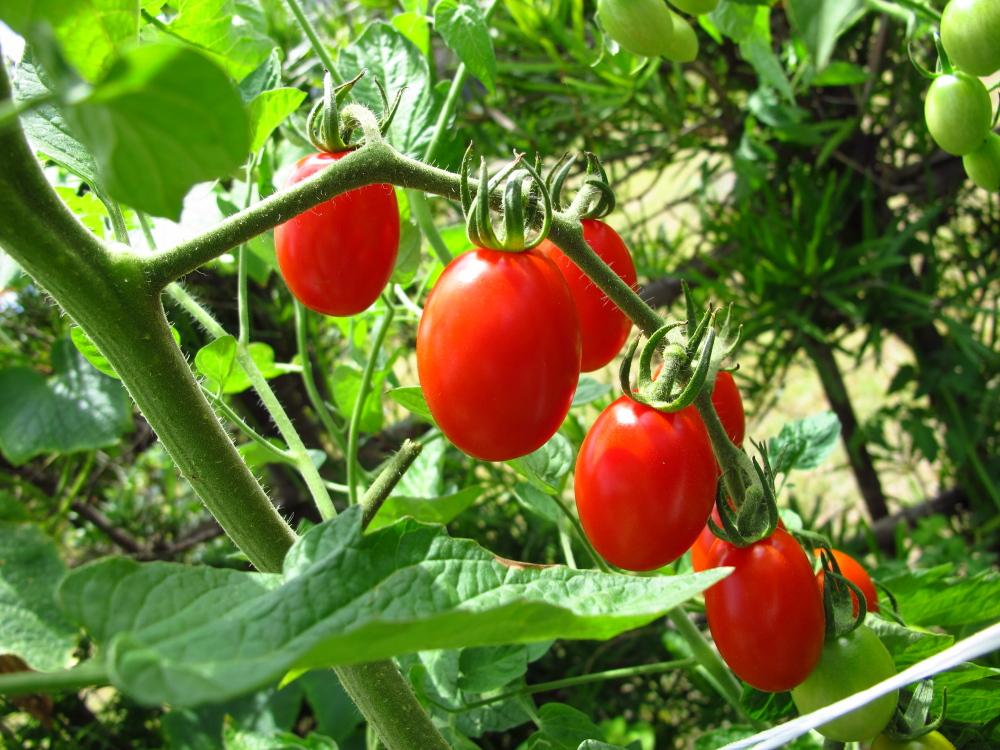 20130719_tomato.jpg