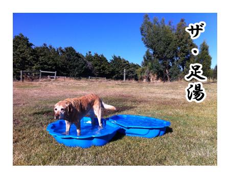 羊の国のラブラドール絵日記シニア!!「プールじゃなくて」2