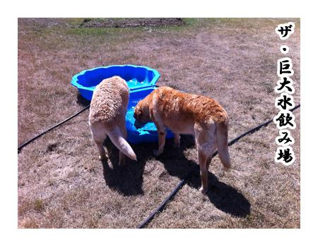 羊の国のラブラドール絵日記シニア!!「プールじゃなくて」4