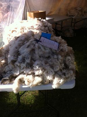 羊の国のラブラドール絵日記シニア!!「A&Pでショー」写真2