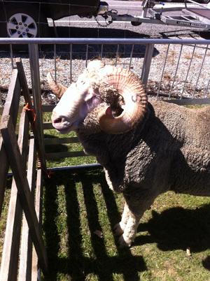 羊の国のラブラドール絵日記シニア!!「A&Pでショー」写真3