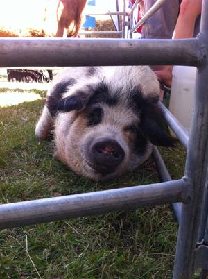 羊の国のラブラドール絵日記シニア!!「A&Pでショー」写真4