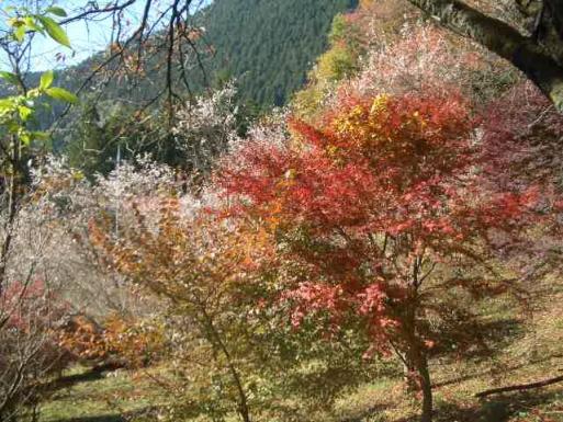 城峯公園紅葉と桜
