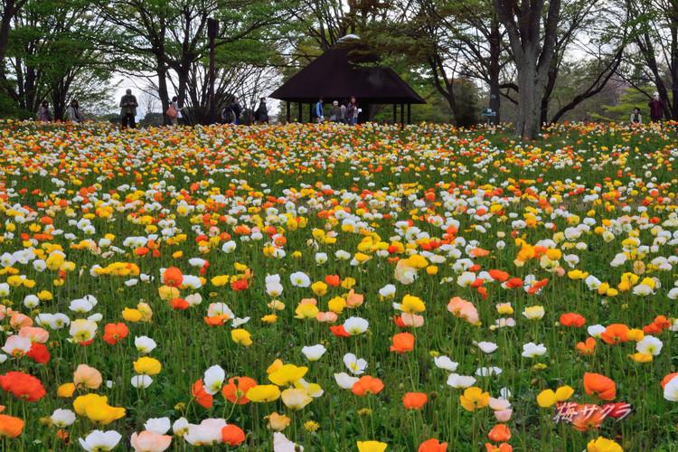 昭和記念公園2(アイスランドポピー1)変更済