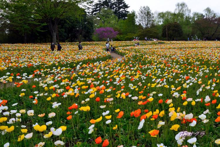 昭和記念公園2(アイスランドポピー2)変更済