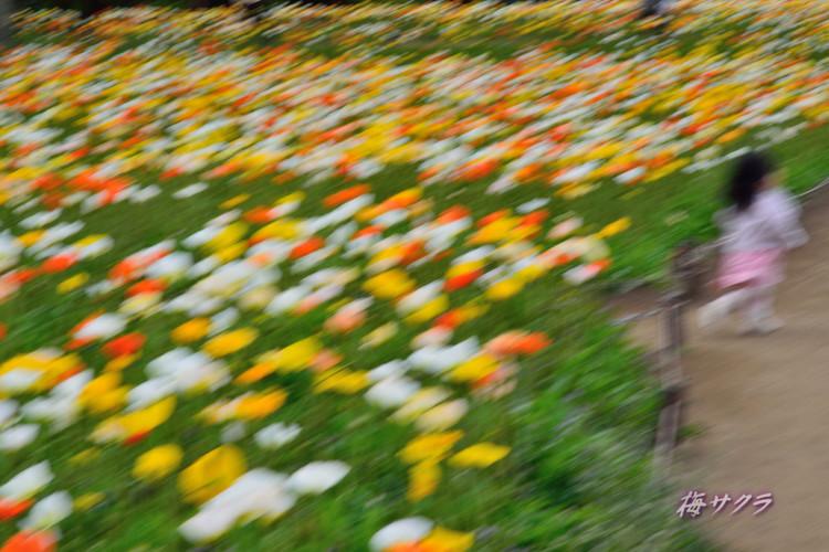 昭和記念公園2(アイスランドポピー6)変更済