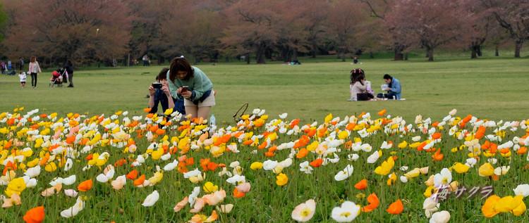 昭和記念公園2(アイスランドポピー8)変更済