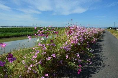 堤防に咲くコスモス