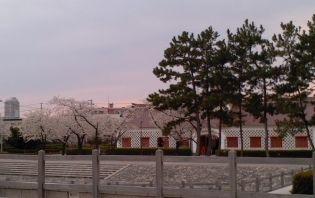 みなとぴあの桜