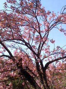 五頭の桜も終わりです