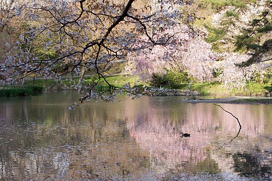 桜思い出-3