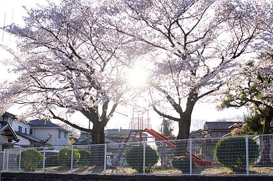 桜思い出-4
