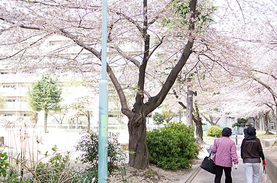 桜思い出-6