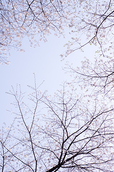 桜思い出-7