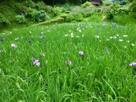 柳生花しょうぶ園12