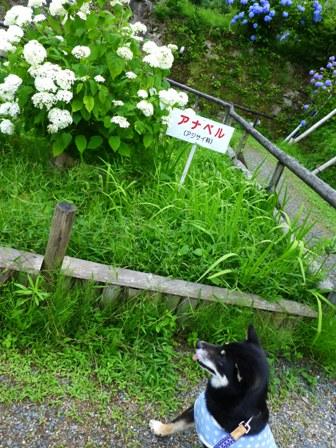 柳生花しょうぶ園16