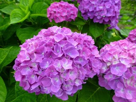 柳生花しょうぶ園19
