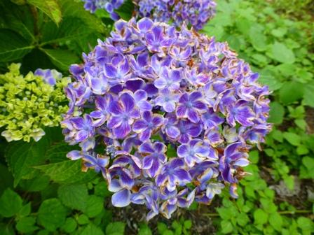 柳生花しょうぶ園26