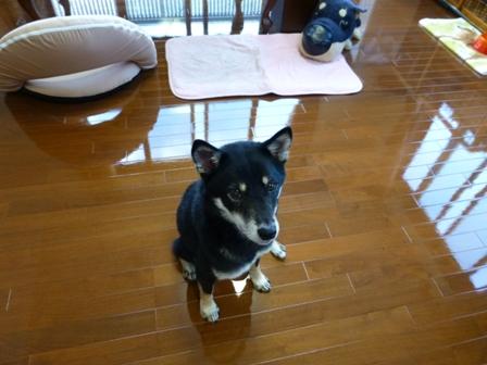 愛犬の床施工10