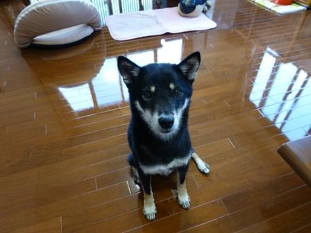 愛犬の床施工11
