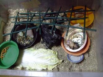 小さいオカヤドカリさん部屋・・・しばらく様子を見ましたが・・・殻から半分出てしまいます・・・2013.06.10