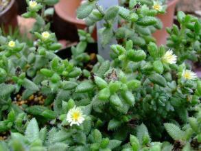 デロスペルマ 雪童(せつどう)?花笠(はながさ)?白花~♪ぽちぽち地味に咲いています♪2013.07.16