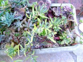 多肉寄せ植え盛り沢山♪15種~♪厳しい夏を凌いだ屋外軒下で緩やかに元気です。2013.08.24