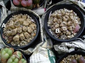 コノフィツム ペルシダム(conophytum pellucidum ssp. neohallii?)2013.09.08まだ休眠中でした。