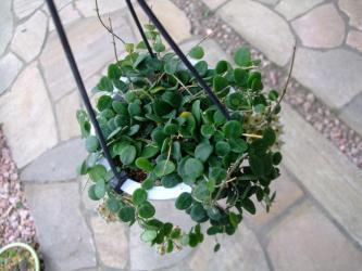 ホヤ サーペンス(Hoya serpens)小型葉で意外と寒さに丈夫なホヤ~原産地はブータン・チベット近辺~?2013.06.19