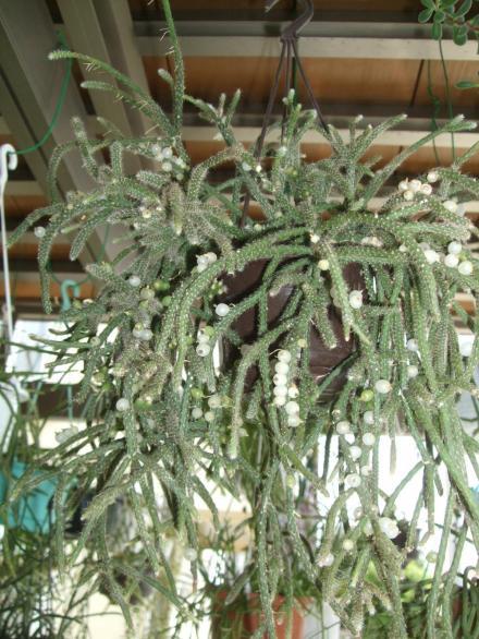 リプサリス バッキフェラ 亜種ホルリダ(Rhipsalis baccifera ssp.horrida) 2013.08.06~開花後白い丸い実がなり、種がカワイく付いています♪2013.08.13
