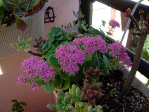 オオベンケイソウ(Hylotelephium spectabile= Sedum spectabile)ギザギザ鋸葉で案外コンパクトです♪ピンクの花が爽やか~2013.09.27
