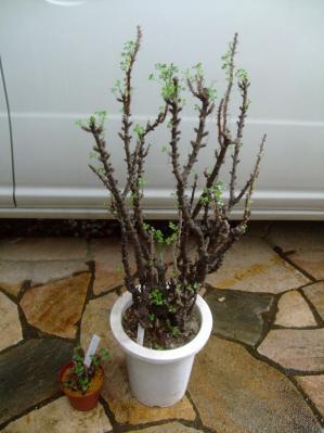 オギザリス ギガンティア~芽吹き前に水やりしましたが最近芽吹いてきました♪2013.10.02