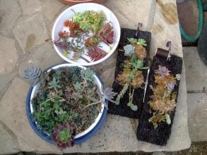 ヘゴ板付け多肉オブジェの仕立て直し♪水苔を多肉の根に被せて糸で留めておきます♪2013.11.06