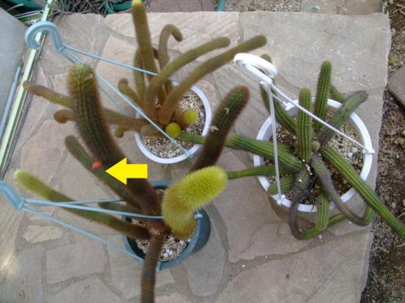 黄金紐(黄金柱) クレイストカクタス ウインテリ. Cleistocactus winteri =Winterocereus aureispinus=ウインテロケレウス(黄金柱サボテン属)アウレイスピンス~花蕾がキターっ♪2013.11.18
