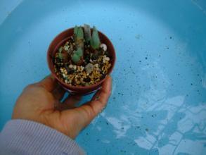 リトープス&コノフィツム~たらいに液肥水を作り皮を剥かないで底面給水してみます♪こんな感じで皮に水がかからないように~2013.09.06