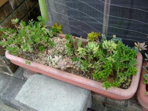 家の前の多肉大プランター寄せ植え~♪みどりみどりに成長期~(^◇^)2013.09.07